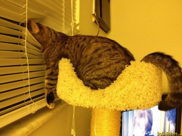 Lazy cat watches window