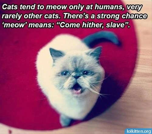 What meowing really means